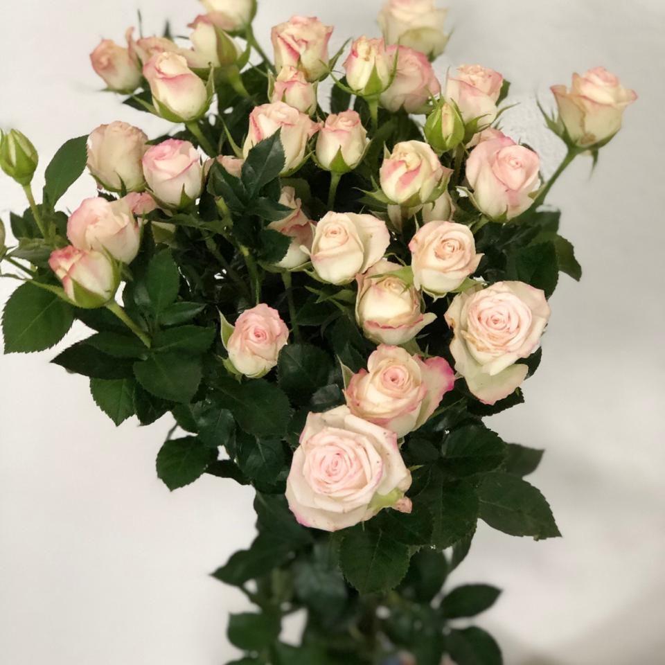 mini rosa - cinderela