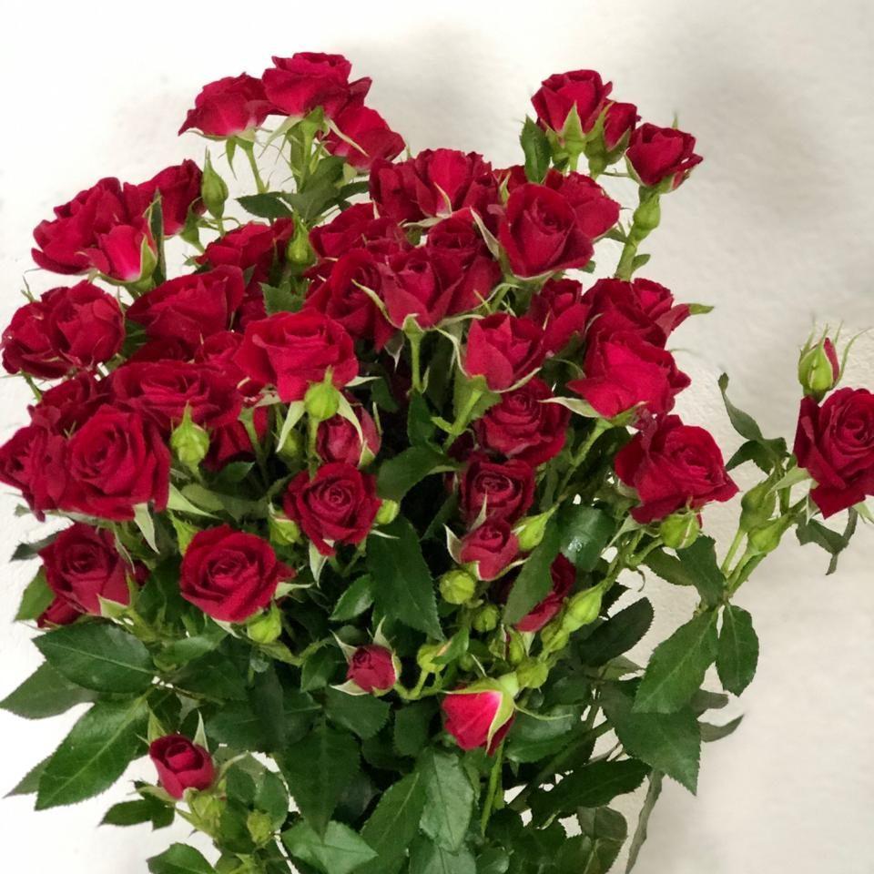mini rosa - vermelha