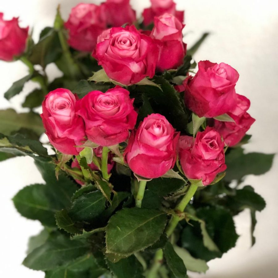rosa bicolor - deep water